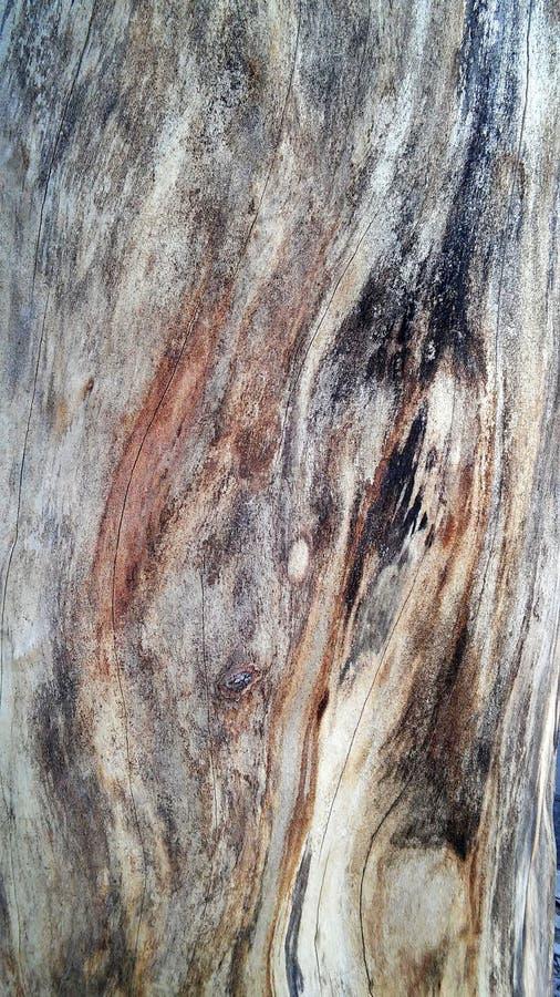 di Platanus colorato Multi dell'albero fotografia stock