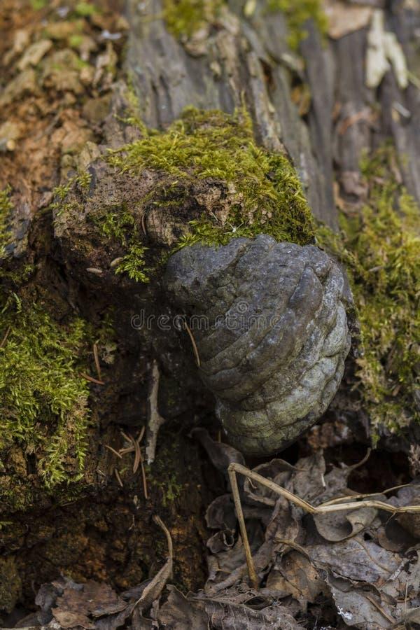 di radici coperte di muschio dell'albero nella foresta con un fondo vago fotografia stock libera da diritti