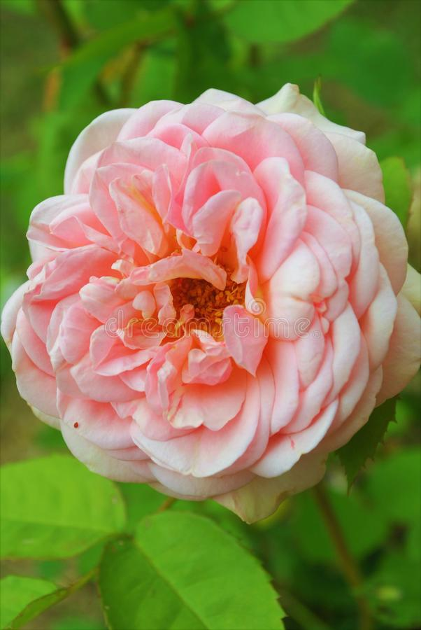 Di Rosa del fiore rosa delicatamente con i semi fotografia stock libera da diritti