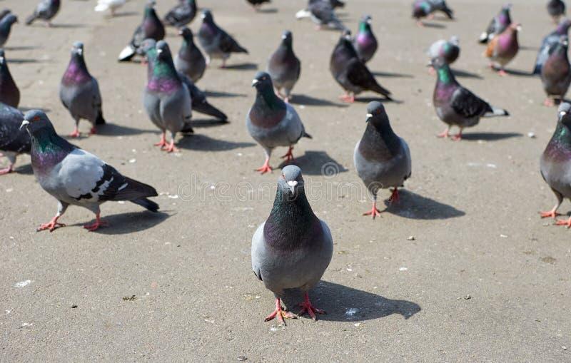 Di Staning piccione grigio della città fuori nella folla dell'uccello fotografia stock