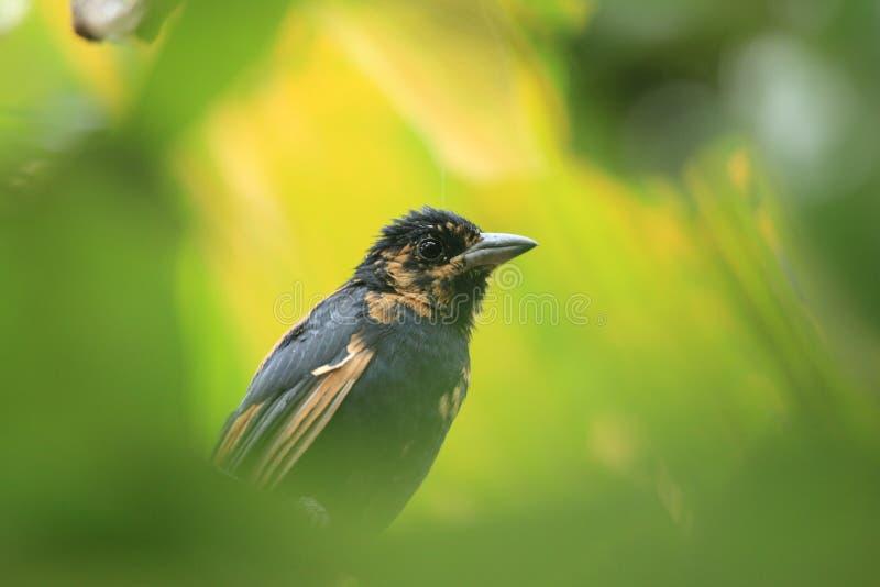 Di Tanager foderato Bianco dell'uccello di rufus acerbo di Tachyphonus nella foresta tropicale Venezuela fotografie stock libere da diritti