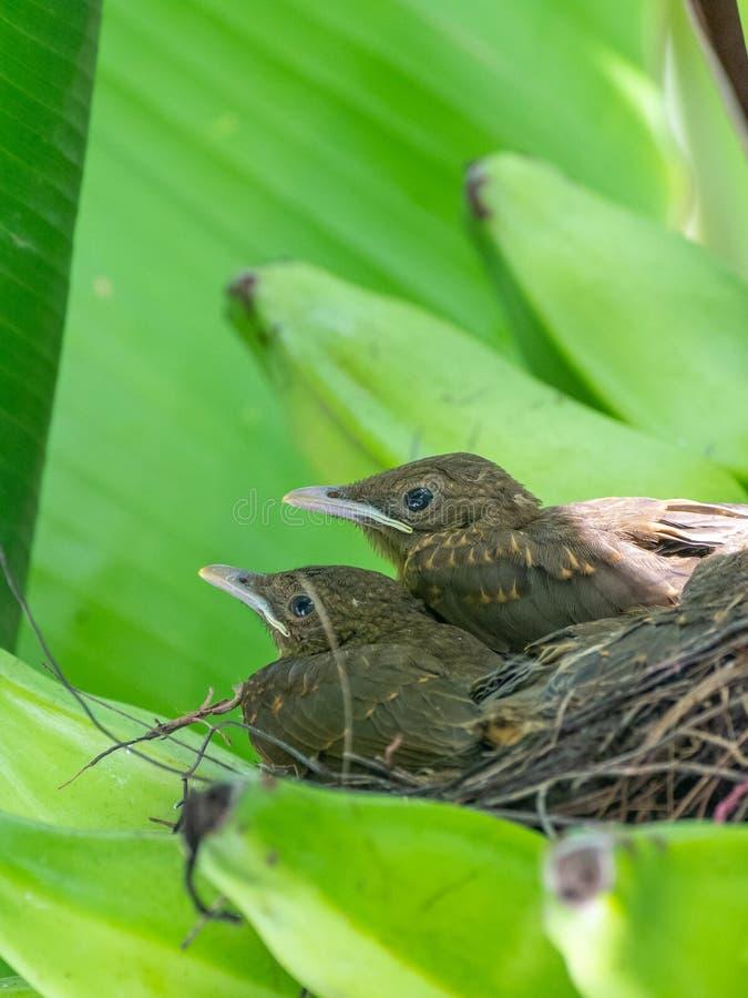 Di tordo colorato d'argilla ( Turdus grayi) pulcini in un nido, in Costa Rica immagini stock