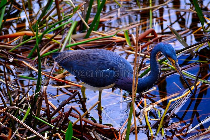 Di uccello colorato di tri dell'airone immagine stock