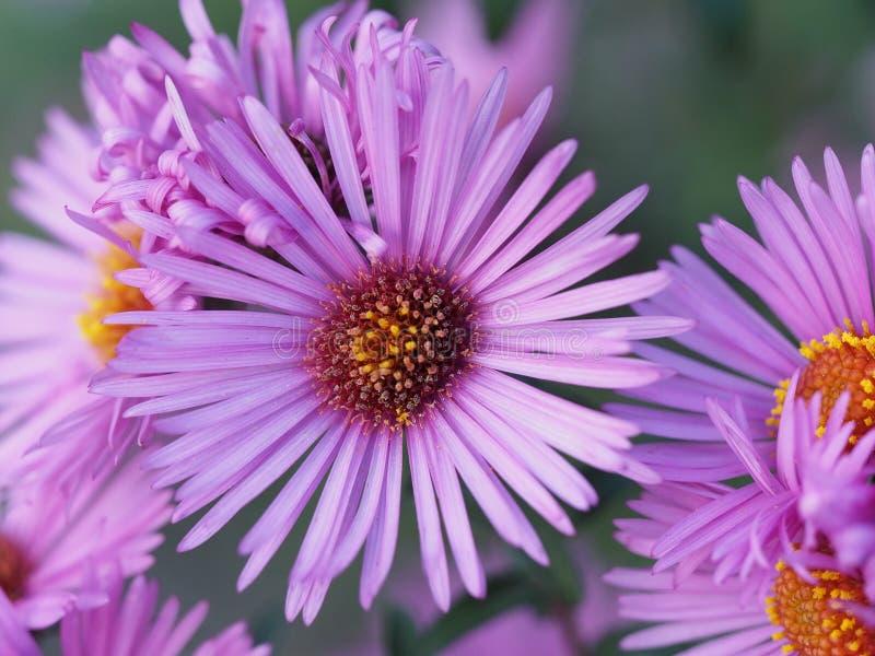 Dia Blogging - floresça a flor ensolarada lilás no jardim fotos de stock royalty free