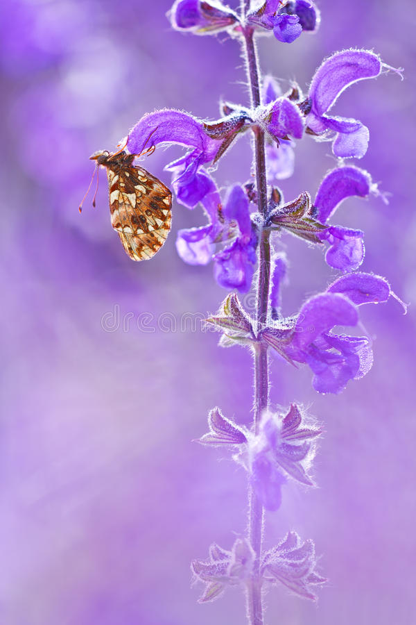 Dia Boloria πεταλούδων στο λουλούδι με ένα όμορφο ιώδες υπόβαθρο στην άγρια φύση Φυσικό macrophotography φωτός και χρώματος Bolo στοκ εικόνα