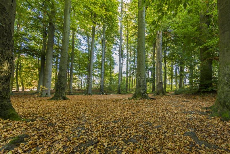 Dia bonito do outono na floresta com muitas folhas secas na terra foto de stock royalty free