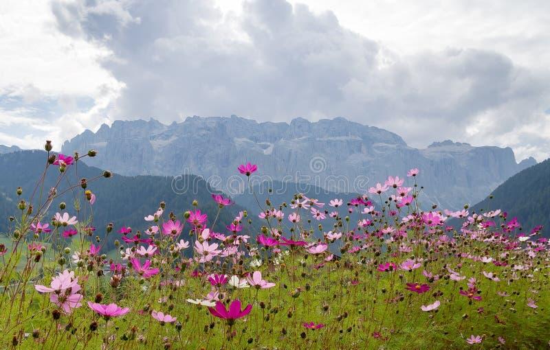 Dia cinza dos Dolomitas, mas os cosmos daisies iluminam a cena - a cidade de Selva Val di Gardena está cheia de flores imagem de stock royalty free