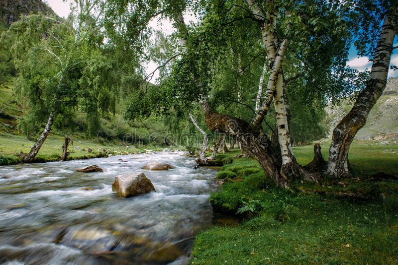 Dia de verão, árvores no banco verde do rio rápido da montanha O vidoeiro dobrado sobre a água turbulenta imagem de stock