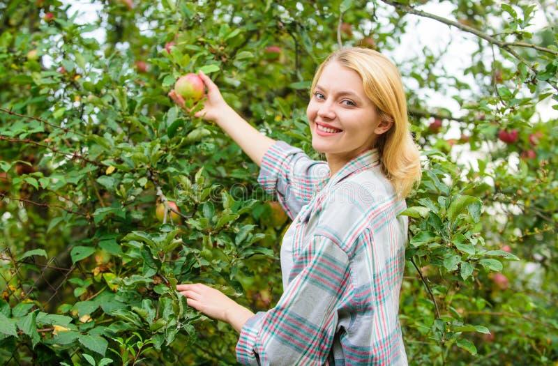 Dia do outono do jardim da colheita das maçãs do recolhimento da menina Senhora do fazendeiro que escolhe o fruto maduro da árvor fotos de stock royalty free