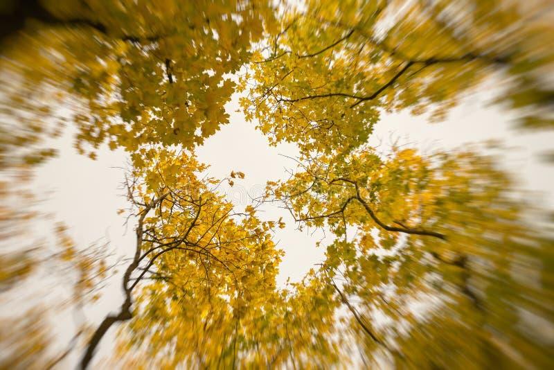 Dia ensolarado de outubro, coroa dourada das árvores de baixo de para cima Perspectiva que parte dos troncos no céu Outono abstra imagens de stock