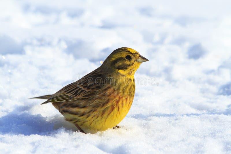 Dia ensolarado do inverno de Yellowhammer que senta-se na neve foto de stock royalty free