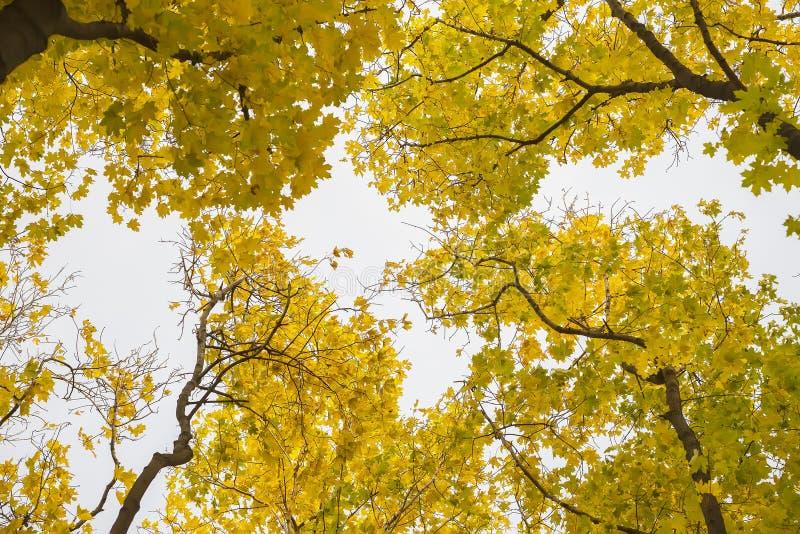 Dia ensolarado do outono, coroa dourada das árvores de baixo de para cima Perspectiva que parte dos troncos no céu Fundo natural foto de stock royalty free