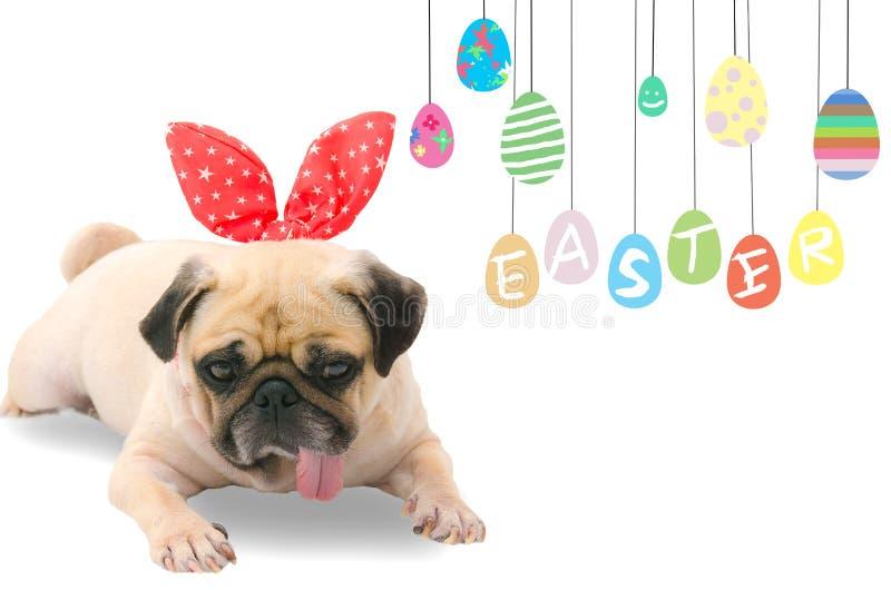 Dia feliz de Easter Orelhas vestindo de um coelho do coelho da Páscoa do Pug bonito novo do cachorrinho do cão que sentam-se ao l fotos de stock