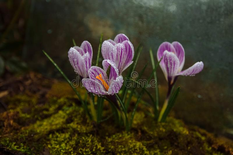 Dia nebuloso da mola, orvalho da flor imagens de stock royalty free