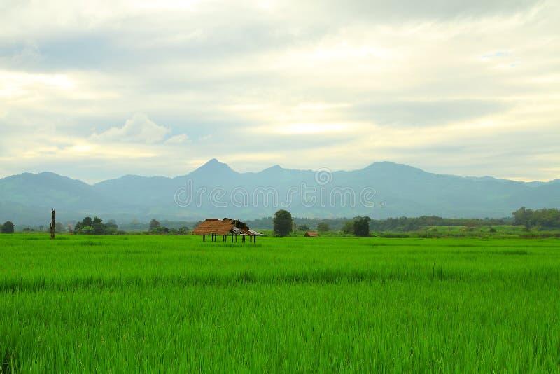 Dia nebuloso no campo do arroz imagens de stock