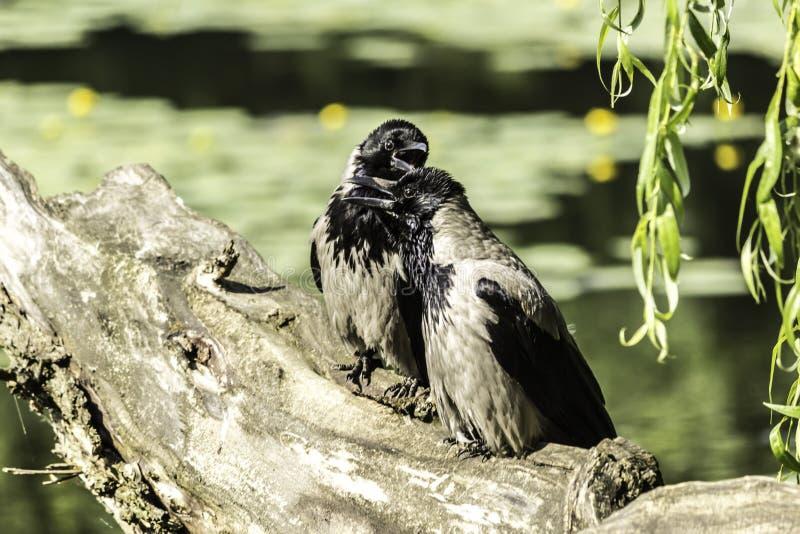 Dia quente O cornix encapuçado do Corvus de dois corvos senta-se com seus bicos abertos na árvore caída perto da lagoa fotografia de stock royalty free