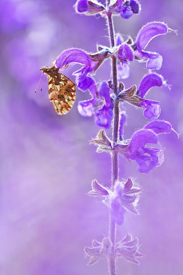 Dia van vlinderboloria op bloem met een mooie violette achtergrond in het wild Natuurlijke licht en kleurenmacrophotography van B stock afbeelding