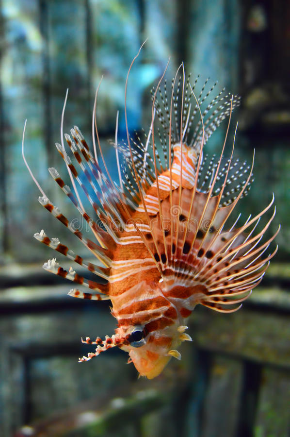 Diabła Firefish Folujący ciało obraz royalty free