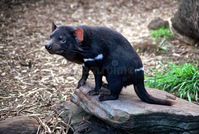 diabeł tasmańskie zdjęcie stock