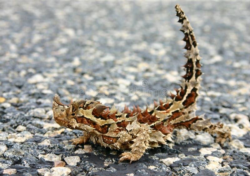 Diable épineux d'aka de horridus de Moloch photo libre de droits