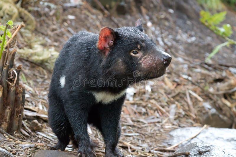 Diable tasmanien photos libres de droits