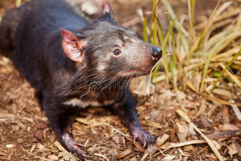 Diable tasmanien photo stock