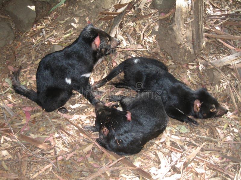 Diable tasmanien photos stock