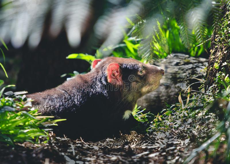 Diable tasmanien dans le sauvage photo libre de droits