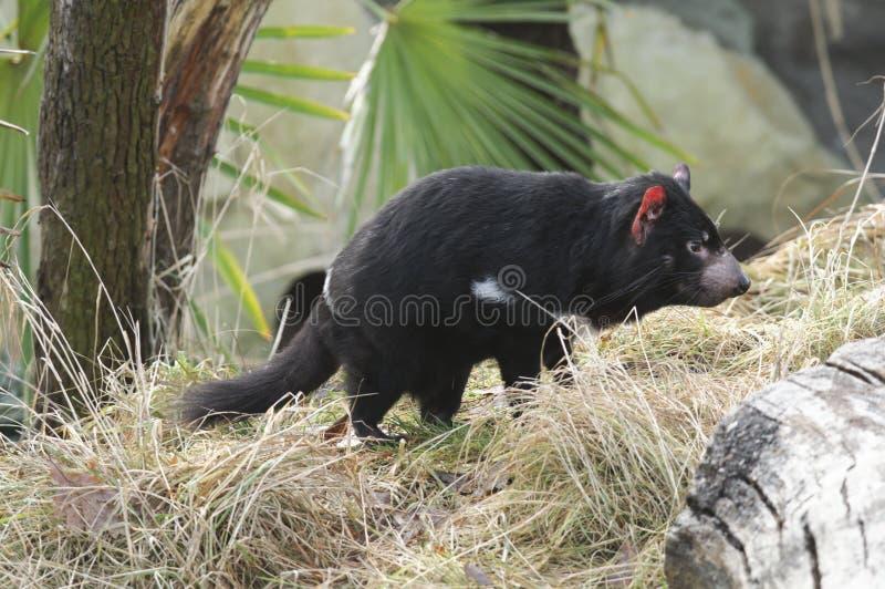 Diable tasmanien rare (harrisii de Sarcophilus) image stock