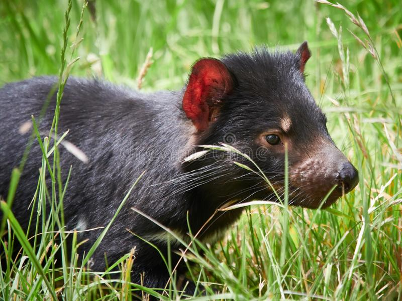 Diabo da Tasmânia - Marsupial da Tasmânia imagem de stock