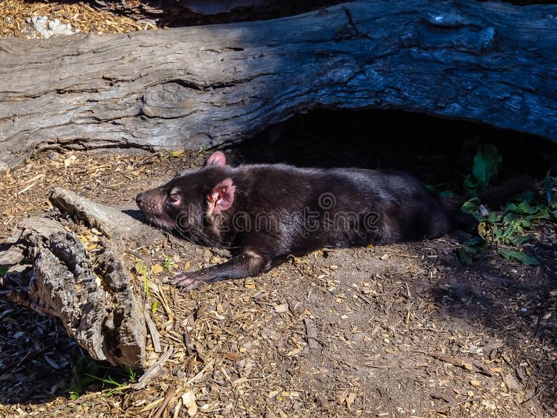 Diabo tasmaniano, animal australiano imagens de stock royalty free