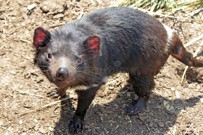 Diabo tasmaniano, Austrália fotografia de stock royalty free