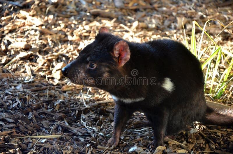Diabo tasmaniano marsupial australiano fotografia de stock