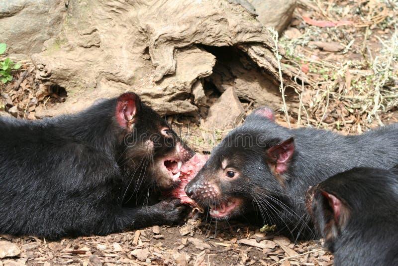 Diabos tasmanianos imagem de stock royalty free