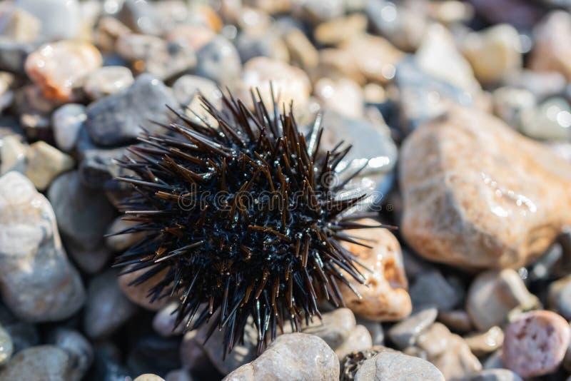 Diabrete de mar em uma praia rochosa fotos de stock