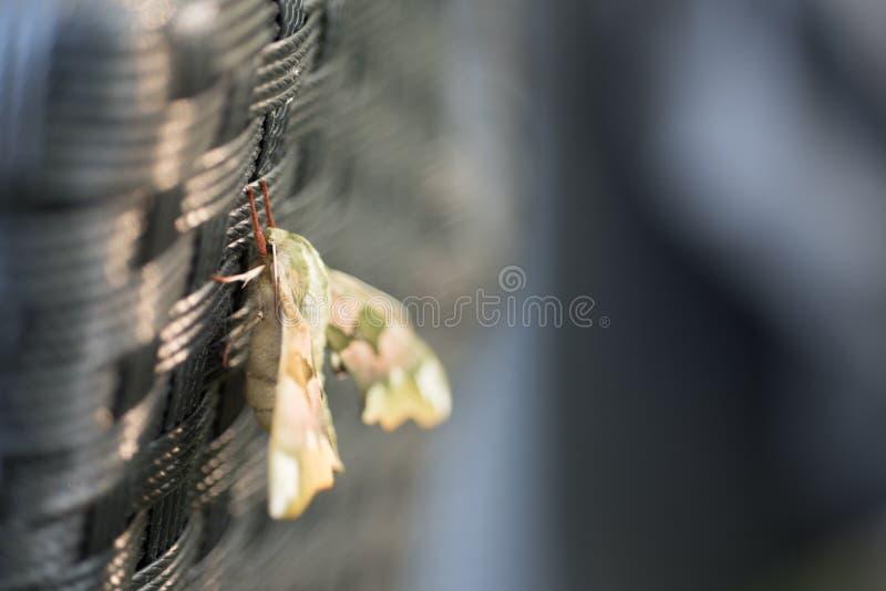 Diachrysia o stenochrysis está descansando no verão que nivela a luz solar fotografia de stock royalty free