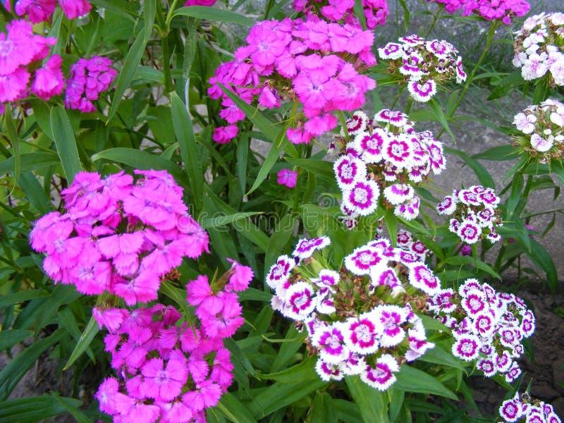 Diadema del barbatus del clavel y chinensis del color p?rpura y rosado El cultivar un huerto del campo Fondo del flor de la prima fotografía de archivo libre de regalías