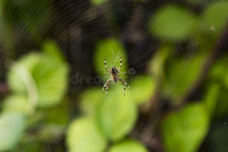 Diadematus del Araneus una araña del orbe-tejedor fotografía de archivo libre de regalías