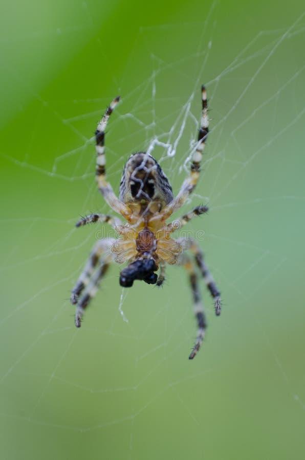 Diadematus do Araneus que faz uma rede Chamado geralmente como a aranha de jardim europeia, epeira, orangie, aranha transversal e imagens de stock