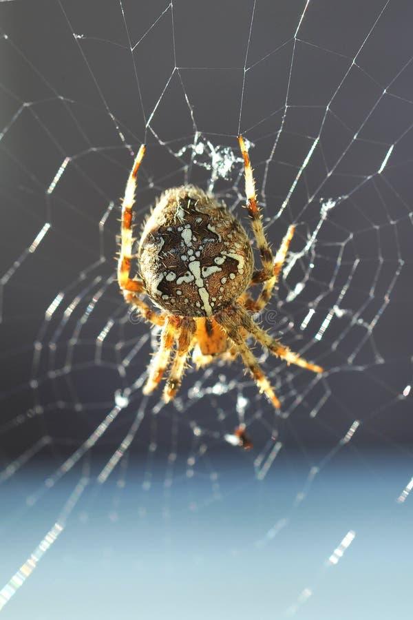 Diadematus europeo del Araneus de la araña de jardín imagen de archivo libre de regalías
