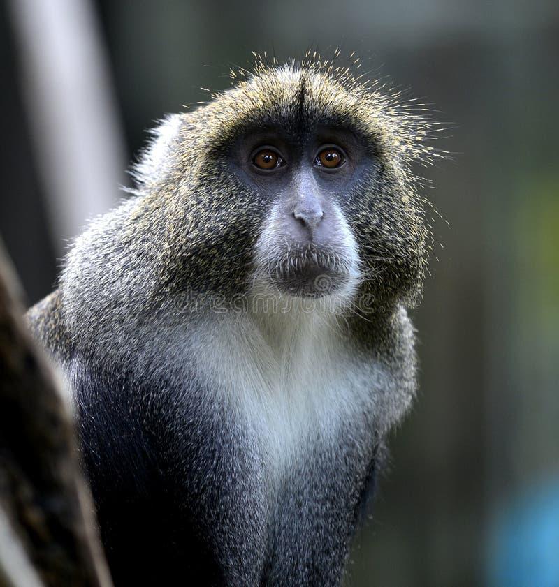 Diademed Monkey. Close-up Diademed Monkey head royalty free stock photos