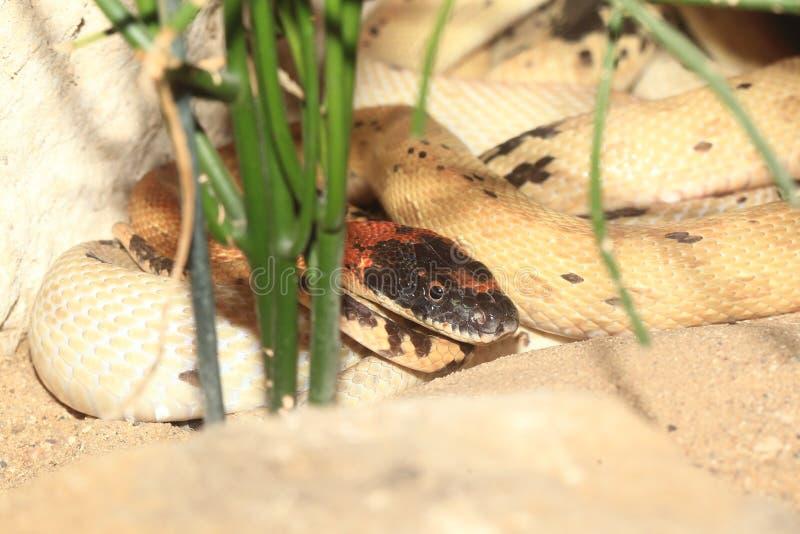Diademu wąż zdjęcie stock