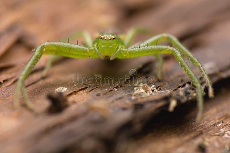 Download Diaea dorsata stock image. Image of nature, forest, araneae - 24748609