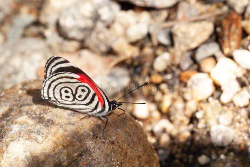 diaethria επίσης αποκαλούμενα 88 πεταλούδων στοκ φωτογραφία με δικαίωμα ελεύθερης χρήσης