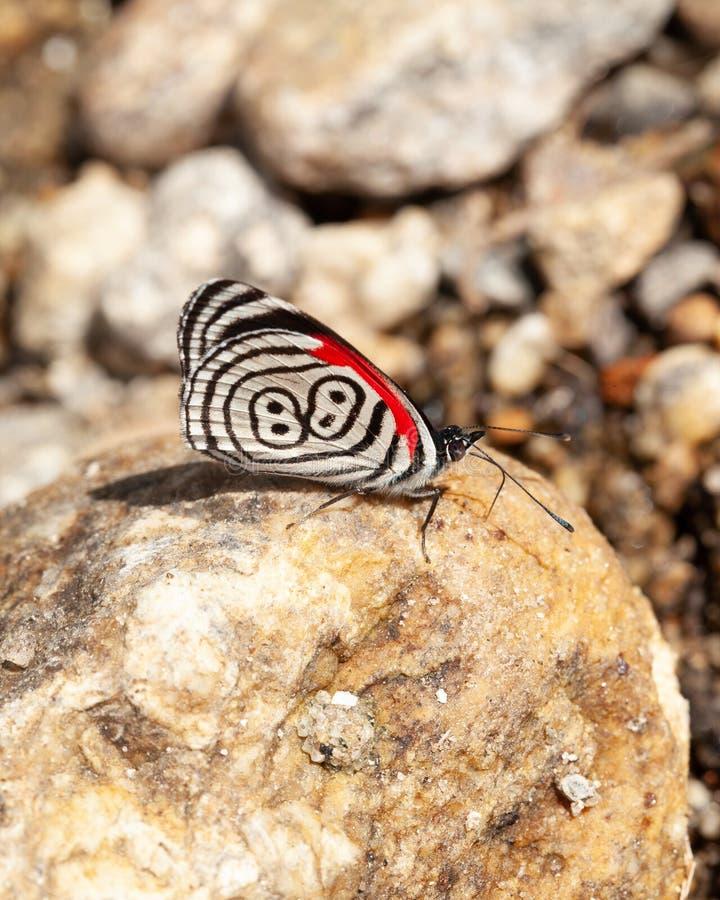 diaethria επίσης αποκαλούμενα 88 πεταλούδων στοκ φωτογραφίες