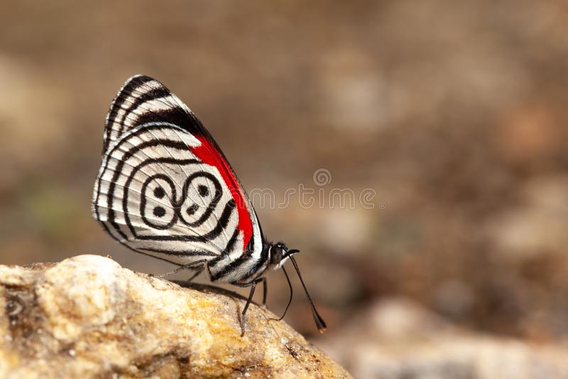 diaethria επίσης αποκαλούμενα 88 πεταλούδων στοκ εικόνα με δικαίωμα ελεύθερης χρήσης