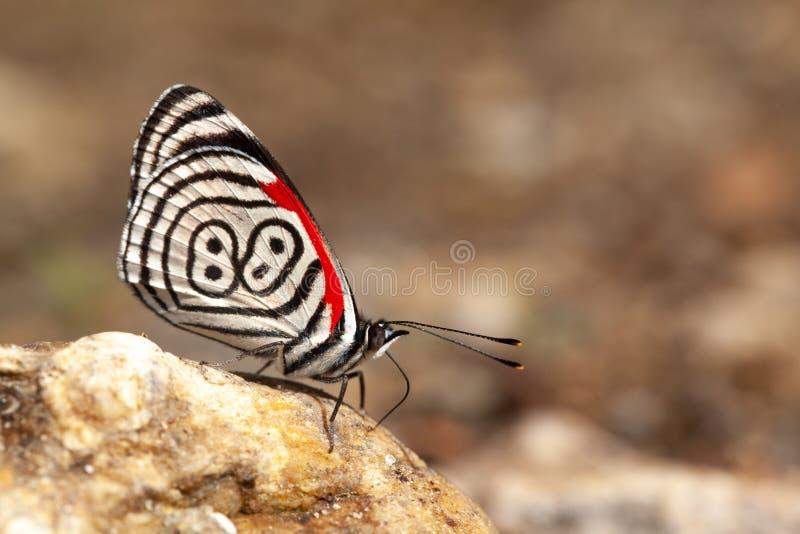diaethria επίσης αποκαλούμενα 88 πεταλούδων στοκ εικόνες