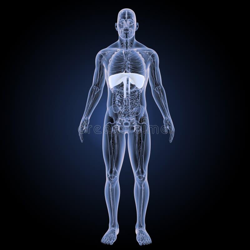 Diafragma con la opinión anterior de la anatomía libre illustration