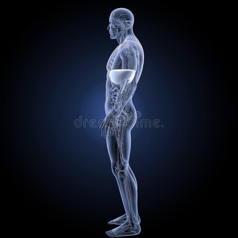 Diafragma con la opinión del lateral de la anatomía libre illustration