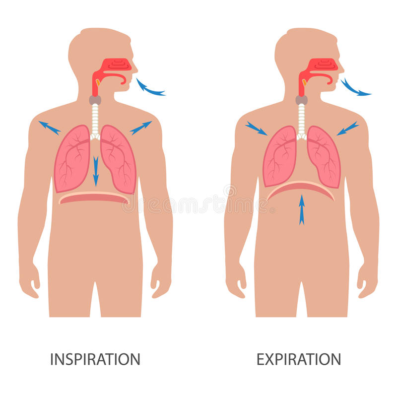 diafragma humano de respiração ilustração stock